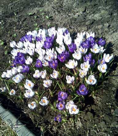 Первые весенние цветы для Вашего сада