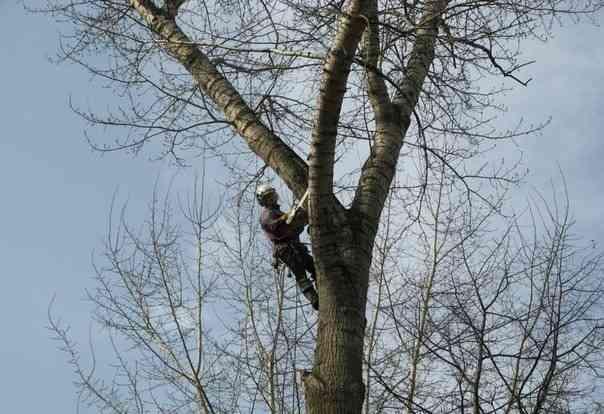 Удалить дерево. Опиловка. Борьба с короедом